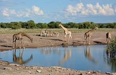 Giraffes gather at an Etosha Pan waterhole, northwestern Namibia, (One more shot Rog) Tags: waterholes waterhole etoshawaterholes etosha giraffes giraffe nature drinking drink thirsty namibia etoshanationalpark zebra rogersargentwildlifephotography onemoreshotrog wildlife water
