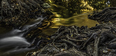 Molten (keith_shuley) Tags: gold golden water stream creek flow roots knees baldcypress cypress olympus
