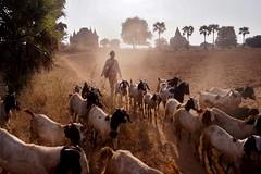 Bagan - chèvres 5 (luco*) Tags: myanmar birmanie burma bagan troupeau chèvres goats pâtre berger sheppard temple palmier palm tree poussière dust flickraward flickraward5 flickrawardgallery