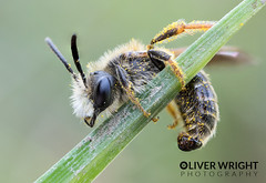Little Perched Bee (Oliver C Wright) Tags: macro mpe65mm bee
