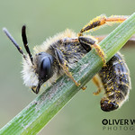 Little Perched Bee thumbnail