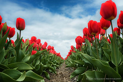 Tulip alley (Marc Haegeman Photography) Tags: flowers tulips tulpen thenetherlands nederland zilk hillegom lisse keukenhof spring springtime lente primavera bloem bloemen blossoms red nikond750 marchaegemanphotography leidsevaart outdoor bollenstreek tulpenvelden zuidholland