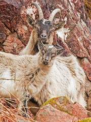 Mountain Goats (coopsphotomad) Tags: mountaingoats goats goat mammal animal wildlife nature outdoor rocks cliff canon handheld horns scotland wild explored explore