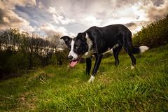 DSCF3785 (donnyhughes) Tags: dog dogs border collie short haired cumbernauld glasgow scotland fuji xt1