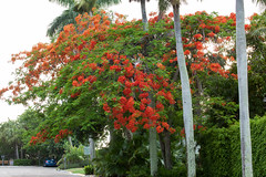 Royal Poinciana (Delonix regia). (od0man) Tags: royalpoinciana flametree flamboyant fabales fabaceae caesalpinioideae plant tree flower tropical subtropical naples colliercounty florida usa