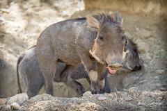 Baby Warthog (ToddLahman) Tags: warthog babywarthog baby thelivingdesert closeup smile canon7dmkii canon canon100400 palmdesert