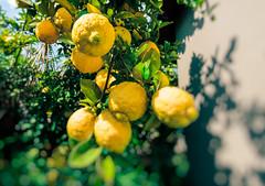 When Life Gives You Lemons... (francoislinde) Tags: garden lemon freedomday 2017 southafrica outside colourful vibrant yellow tree home sour lemons fruit citrus april bokeh
