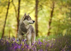 The song of Spring (Magic Dogs Photography - Elisa Pirat) Tags: husky chien dog roux regard attitude nature attelage sleddog forêt wood foerest animal pet