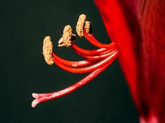 Amaryllis (niloc's pic's) Tags: amaryllis hippeastrum red flower bulb bexhillonsea eastsussex panasonic lumix dmcgx7