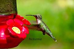 Hummingbird Time ! (backup1940) Tags: sony hummingbird hockleytexas bird wowiekazowie backup1940