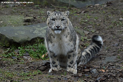Snowleopard - Koln Zoo (Mandenno photography) Tags: dierenpark dierentuin dieren duitsland animal animals germany snow leopard snowleopard koln zoo