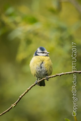 Blue Tit  / Cyanistes Caeruleus aka Parus Caeruleus (I'll catch up with you later, your comments and cr) Tags: rertug nenecountrypark nikkor200500mmf56eafsed nikond610fx wildlifephotography birdphotography animal bluetit