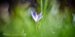 In The Midst Of Green (matt.kueh) Tags: flower plant blume spring krokus crocus frühling bokeh bokehlicious vintagelens manualfocus m42 depthoffield helios40285mmf15