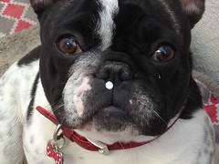 2017-03-28 15.26.04 (Anastasia Neto) Tags: dog dogphotography dogmodel dogs dogphotographer frenchbulldog frenchies frenchie funnydog frenchbulldogs funnydogs petmodel puppies puppy petphotography pet petphotographer pets cutepuppies cutepuppy