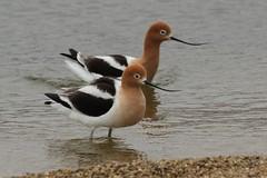 American Avocets (Rita Wiskowski) Tags: americanavocet lakeshorestatepark wisconsin milwaukeecounty milwaukee peep shorebird migration bird beach avocets avocet