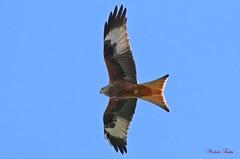 Nibbio Reale - Red Kite ( Milvus Milvus ) Explore. (Michele Fadda) Tags: canoneos70d sigma150600mmf563dgoshsm contemporary015 sigma150600c sardinia sardegna italy milvusmilvus redkite nibbioreale nature natura avifauna bird uccello volatile volo flight faunaprotetta rapace raptor falco photoscape explored