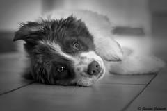 Mia (GiacoGala) Tags: mia dog dogs mydog puppies puppy canon canonistas canoneos blackandwhite giacogala giacomo giacogalaphoto galavotti giacogalaphotographer giacomogalavotti fotografia fotografo foto fotografìa fotoweb fotomie mycanon photography photo photographer photoshop ph