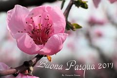 """Buona Pasqua (Ferruccio Zanone) Tags: """"fior di pesco"""" fiori pesco pesca pasqua rosa petali pistilli"""