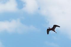 IBIS FLACINELLES-3 (P.FAISSAT) Tags: plegadis falcinellus camargue oiseaux roseaux pélécaniformes