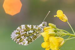 Butterfly @ sunset