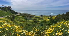 Serene beauty (borders92109) Tags: southerncalifornia beautiful panorama pano iphone landscapes pacific surf wildflowers waves ocean plnu pointloma california sandiego flowers