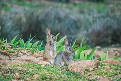"""""""Gazapos"""" (FotoJuanma2000) Tags: conejo ibérico fauna salvaje españa wild life"""