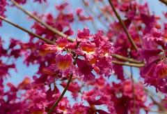 Dude, So Intense! (hectic skeptic) Tags: camarillo california spring tress flowering flowers markamorgan