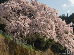 Sakura trees at west Yoshino area (1) (double-h) Tags: omd em1markii omdem1markii mzuikodigitaled40150mmf28pro 桜 さくら 枝垂れ桜 しだれ桜 西吉野 奈良県 下市町 sakura cherryblossoms weepingcheerytree weepingsakura naraprefecture nishiyoshino westyoshino shimoichitown