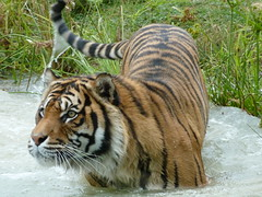 Focus (billgaudinnz) Tags: tiger tz10 dmctz10 panasonic stripes animals water movement