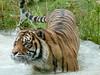 Focus (billgaudinnz) Tags: tiger tz10 dmctz10 panasonic stripes animals water movement