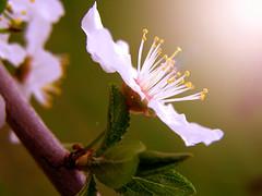 (Alin B.) Tags: alinbrotea nature spring april aprilie primavara flower sun cherry cherryplum blossom scent