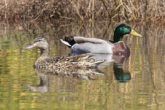 Mallard Duck 4-2-2017-8 (Scott Alan McClurg) Tags: aplatyrhynchos anas anatidae anseriformes flickr bird blue duck flickrbirds life mallard migrate nature neighborhood sky spring swim swimming waterfowl wild wildlife delaware