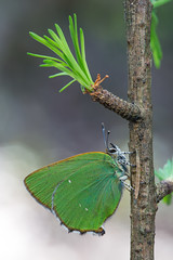 Grüne Zipfelfalter │ Green hairstreak │ Callophrys rubi (Bluesfreak) Tags: grünezipfelfalter greenhairstreak callophrysrubi tagfalter spessart unterfranken