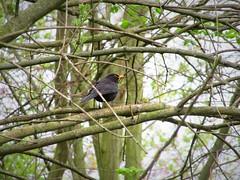 IMG_7284_Fotor01 (Ela's Zeichnungen und Fotografie) Tags: hannover landschaft natur bäume blätter äste sonnenlicht himmel tier vogel amsel
