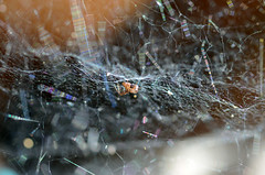 spider in web (Wolfgang Binder) Tags: spider web spiderweb cobweb animal insect nikon d7000 macro planar planart2100