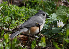 Tufted Titmouse (bug-in-my-eye) Tags: aves passeriformes paridae