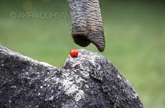 ZOO0261 (Akira Uchiyama) Tags: 動物たちのいろいろ 鼻 鼻アフリカゾウ
