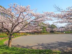Sakura Park (INZM.) Tags: 桜 さくら サクラ japan sakura 満開 cherrytree fullbloom cherry tree cherryblossoms cherryblossom sakurapark park shot spring 2017 blossoms