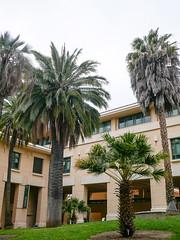 Chilean Wine Palm (DemoDataServices) Tags: sanluisobispo california unitedstates