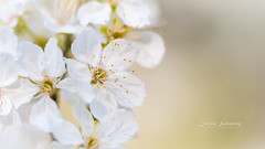 Cherry blossom (CecilieSonstebyPhotography) Tags: canon canon5dmarkiii markiii oslo bokeh cherry cherrytree closeup flower flowers kirsebærtrær macro outdoor petal petals spring stem white ngc npc
