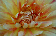 Dahlia_HDR (sh10453) Tags: oakpark michigan usa flowers dahlia canon eos 5d llenses hdr