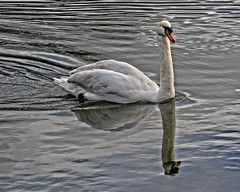 His Majesty (MrBlueSky*) Tags: swan bird waterfoul animal nature outdoor aquaticbird kewgardens royalbotanicgardens kingdomanimalia london ngc aficionados pentax pentaxart pentaxlife pentaxk1 pentaxawards pentaxflickraward