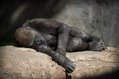 Joanne (ToddLahman) Tags: joanne westernlowlandgorilla gorilla sandiegozoosafaripark safaripark canon7dmkii canon canon100400 nap mammal outdoors