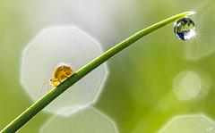 La collembole et la goutte. (gille33) Tags: gillesremus nature macro insecte insect insectes collembola collembole goutte drop drops droplet waterdrop waterdrops bokeh green vert soleil sun nikond810 sigma150