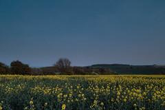 Afterhours (Adam_Marshall) Tags: adam marshall spring england flowers nature cambridgeshire stereocolours outdoors countryside landscape field dusk adammarshall sunset twilight trees blue sky soft dark atmospheric fen fenland nostalgic melancholy