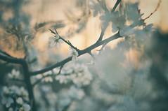 Good morning, world (Bilderwense) Tags: natur nature dof shallow depth depthoffield tiefenunschärfe tiefenschärfe outdoor nikkor 50mm f18 nikon d5000 bokehrama bokeh smooth soft bokehlicious makro macro macrodreams macromonday schärfentiefe pflanze verschwommen blüte macromondays serene vignetting heiter plant plants plantparts blume frühling spring garten sunset sundown dusk dawn dämmerung sonnenuntergang sonnenaufgang baum mirabelle kitsch