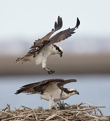 Osprey pair on nest (Mawrter) Tags: osprey pair two bird birds birding avian nature nest wing wings flying fly flight motion action pairbehavior couple mates bond canon wild wildlife outdoor afternoon forsythenwr forsythe oceanville nj newjersey specanimal