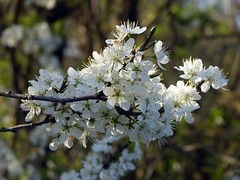 Spring 4 (pocahontas1975) Tags: framlingham spring flowers flores england suffolk sun woodwork mere castle landscape tree