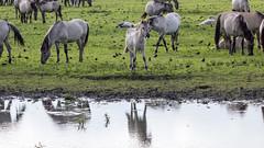 Oostvaardersplassen (Hans van der Boom) Tags: nederland netherlands ijsselmeerpolders flevopolder oostvaarderplassen animal horses wild herd konik horse water reflection lelystad nl
