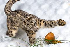 Snow Leopard Snow Day (San Diego Zoo Global) Tags: snow snowday snowleopard cat cats bigcats leopard leopards nature animals animal sandiegozoo sandiego endangeredspecies amur amurleopard snowleopards wildlife